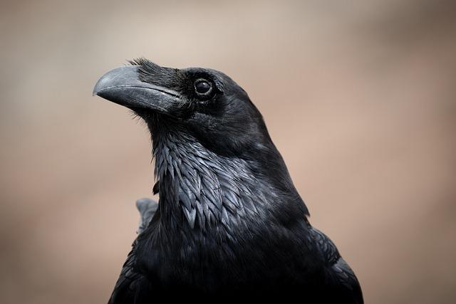Black, Bird, Raven, Animal