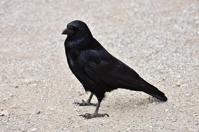 Raven, Raven Bird, Crow, Animal, Nature, Feather, Black