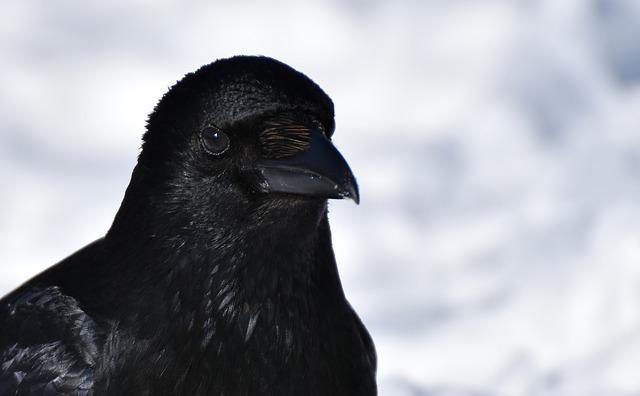Crow, Raven Bird, Black, Corvidae, Nature, Bill, Animal