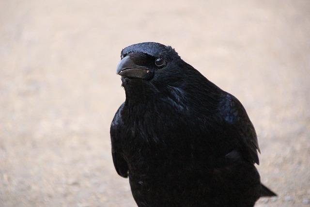 Raven, Birds, Raven Bird, Crow, Black