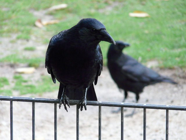 Carrion Crow, Corvus Corone, Crow, Raven Bird, Songbird