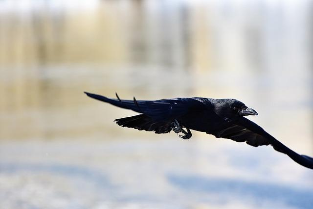 Raven, Crow, Raven Bird, Bird, Black, Feather