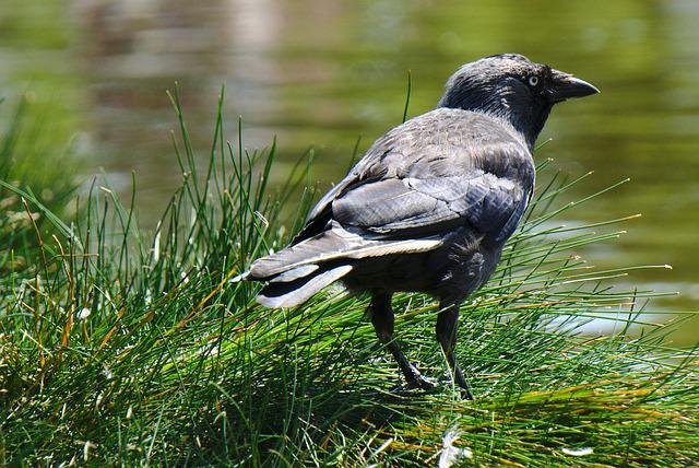 Crow, Grass, Water, Raven, Pond, Ornithology