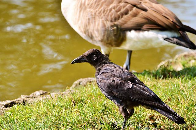 Raven, Raven Bird, Carrion Crow, Bird, Crow, Animal