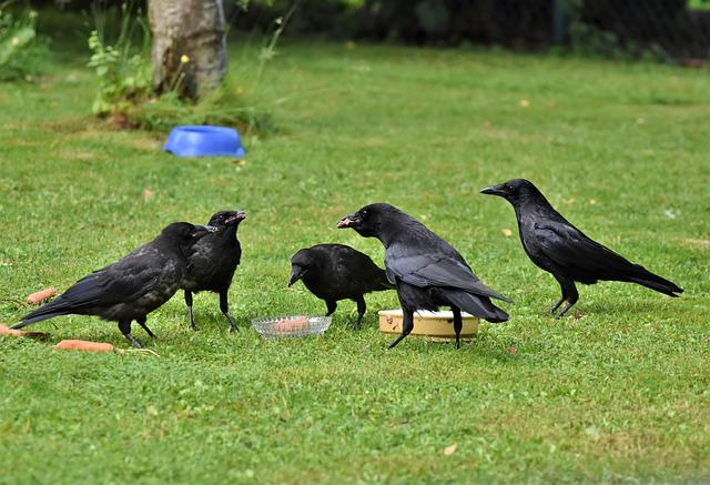 Raven, Crow, Raven Bird, Bird, Common Raven, Jackdaw
