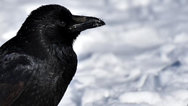 Crow, Animal, Common Raven, Raven, Snow, Winter, Cold
