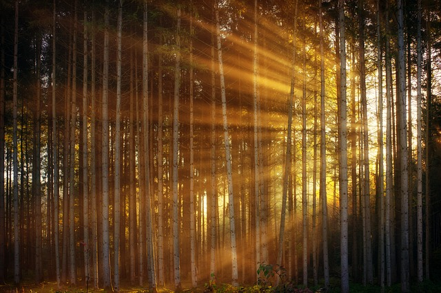 Forest, Sunlight, Sunbeam, Rays, Light, Background