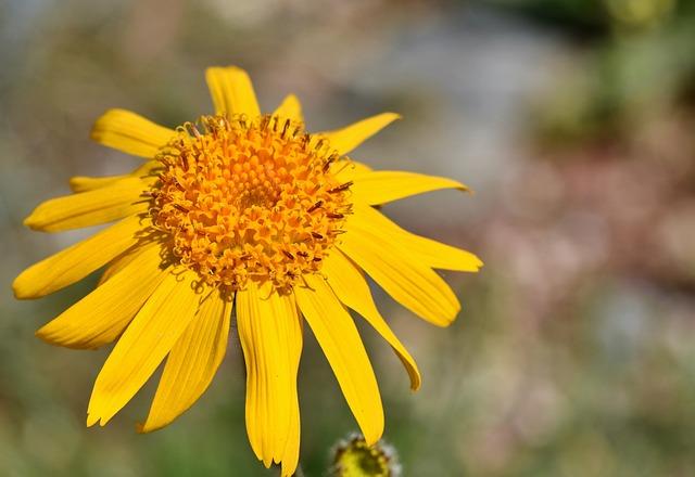 Arnica, Real Arnica, Arnica Montana, Plant, Blossom