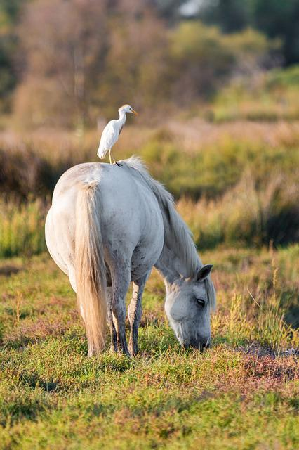 Cattle Egret, White Horse, Move, Rear, From The Rear
