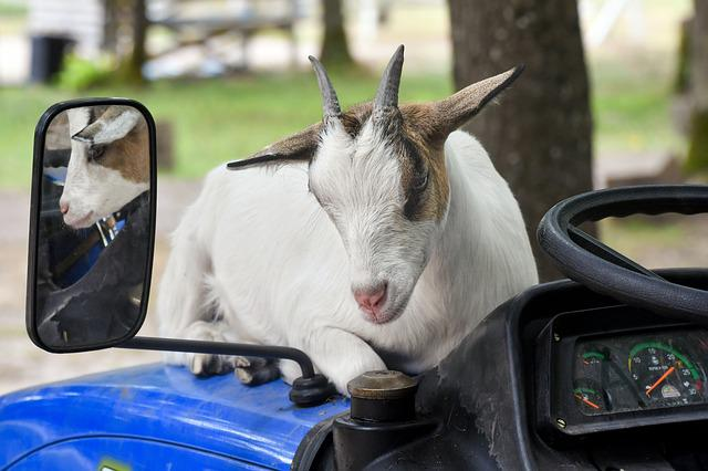 Goat, Rear View Mirror, Reflection, Tractor, Biquette