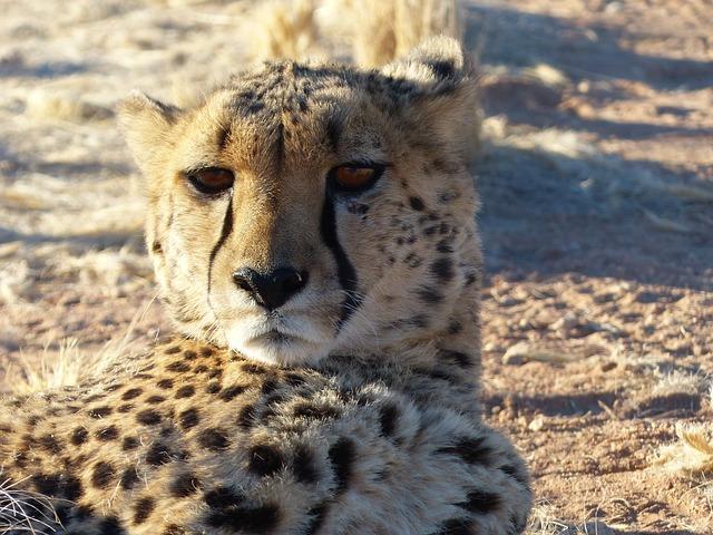 Cheetah, Cat, Rearing, Tame