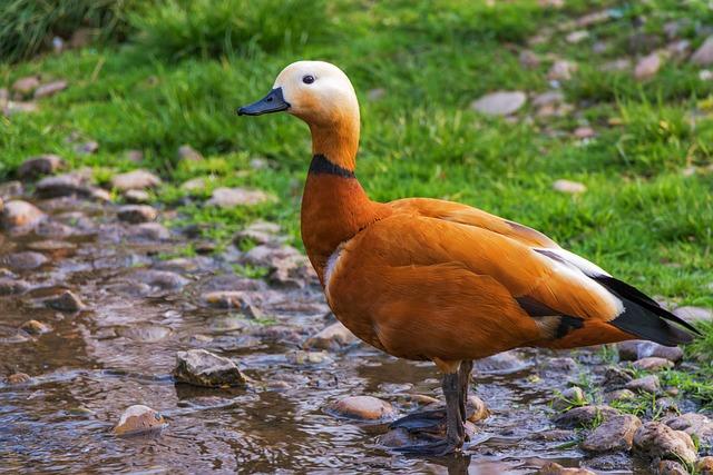 Ruddy Shelduck, Réceféle, Bird, Feathered