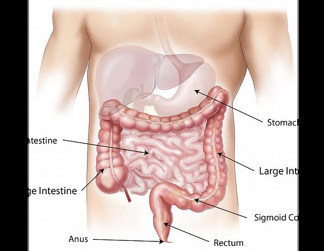 Abdomen, Intestine, Large, Small, Stomach, Rectum, Anus
