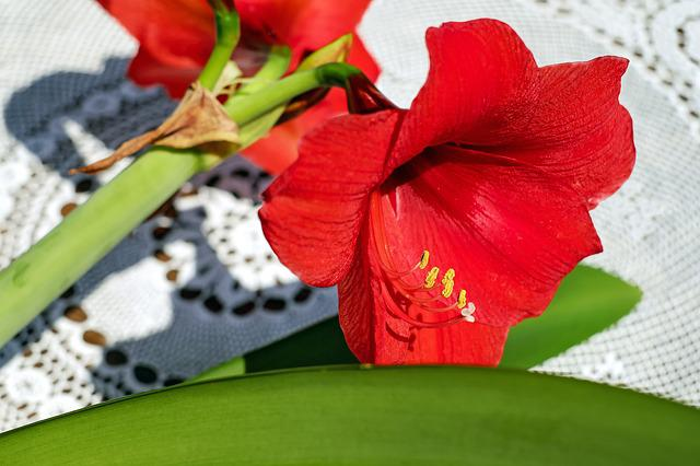 Amarillis, Flower, Blossom, Bloom, Flowers, Red, Cup