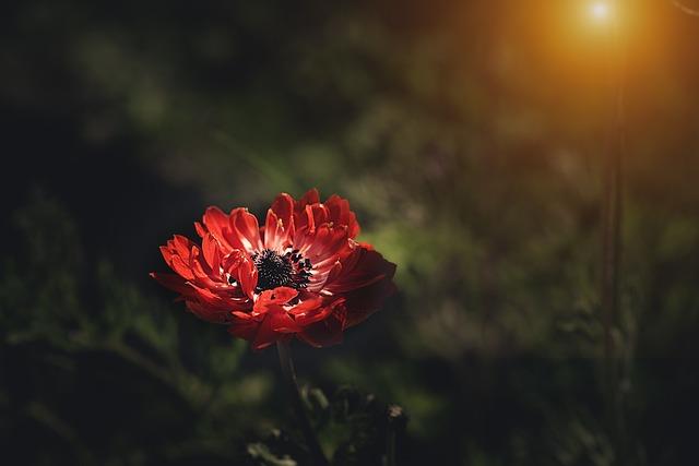 Anemone, Red, Red Anemone, Flower, Red Flower, Blossom