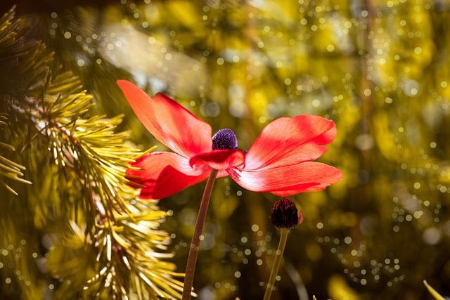 Anemone, Red, Red Anemone, Flower, Blossom, Bloom