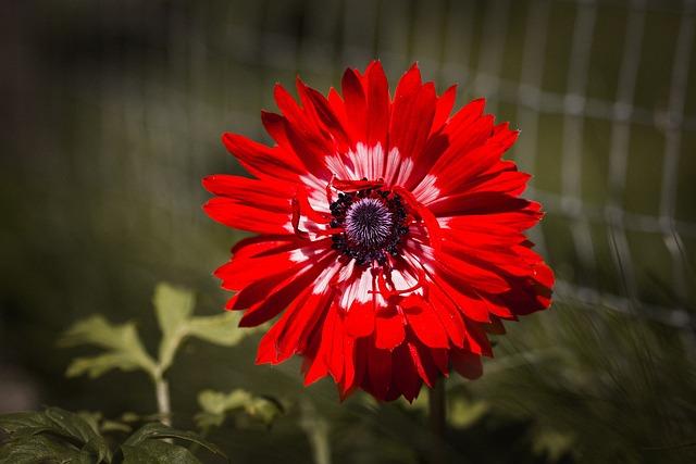 Anemone, Red, Red Anemone, Spring Flower, Flower
