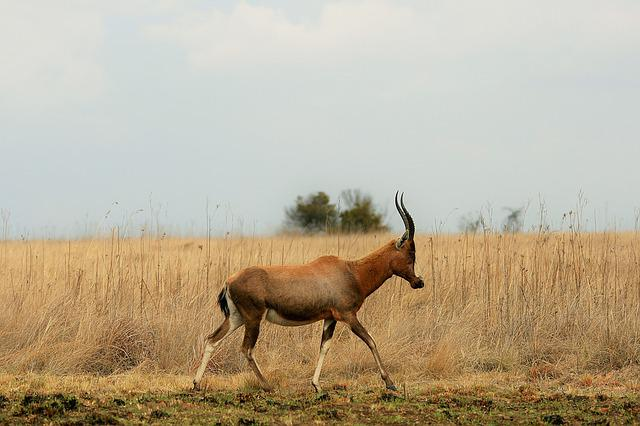 Blesbok, Antelope, Animal, Game, Wildlife, Red, Blaze