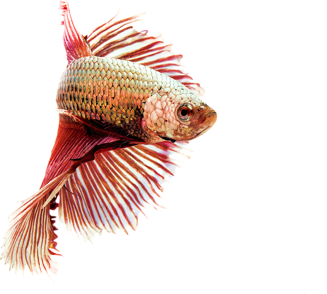 Fighting Fish, Red, Freshwater, Animals, Aquarium