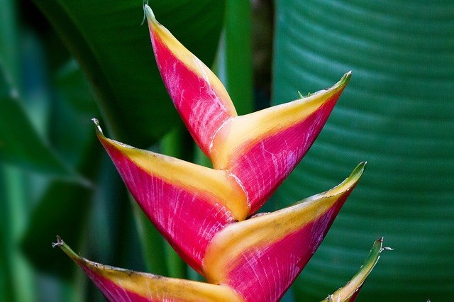 Heliconia Caribaeae, Bihai, Junction, Flowers, Red