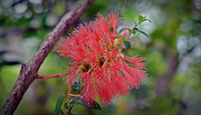 Myrtaceae, Myrtle Plant, Red, Blossom, Bloom, Brush