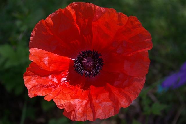 Poppy, Red, Blossom, Bloom, Flower, Plant