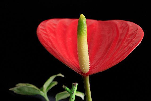 Anthurium, Blossom, Bloom, Red