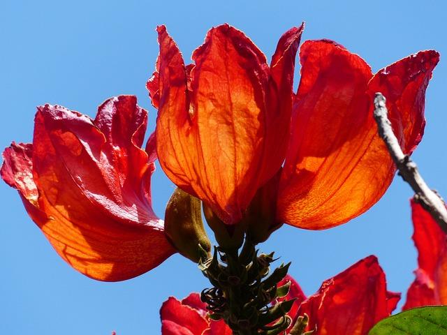 Blossom, Bloom, Red, Tulip Tree, Bright
