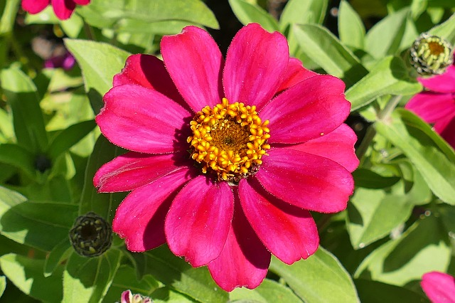 Zinnia, Flower Garden, Red, Blossom, Bloom, Macro