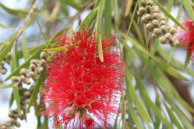Bottlebrush Tree, Flower, Red, Callistemon, Nature