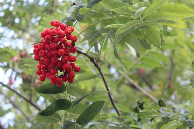 Rowan, Tree, Plant, Nature, Rowan Berries, Red, Branch