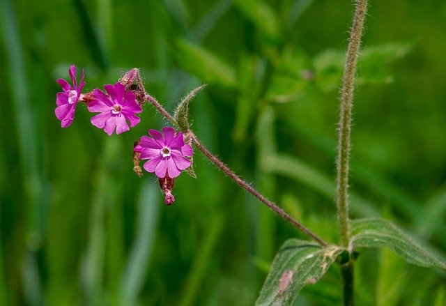 Campion, Violet, Purple, Red Campion, Flower, Plant