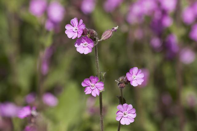 Red Campion, Silene Dioica, Red Catchfly