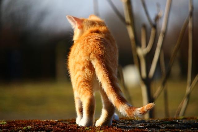 Cat, Kitten, Mackerel, Red Mackerel Tabby, Red Cat