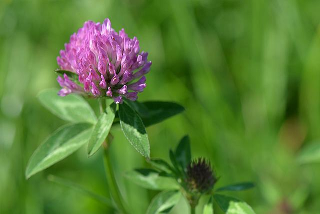 Blossom, Bloom, Klee, Macro, Red Clover, Meadow