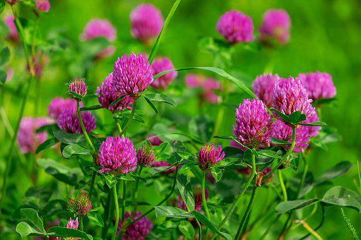 Klee, Blossom, Bloom, Purple, Red Clover