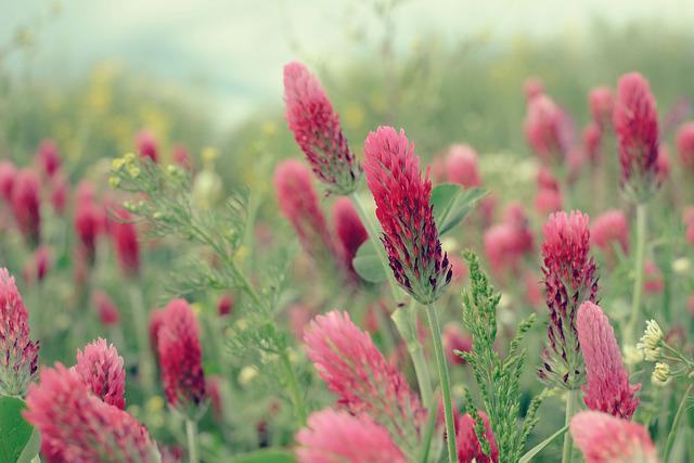 Nature, Plant, Red Clover, Blossom