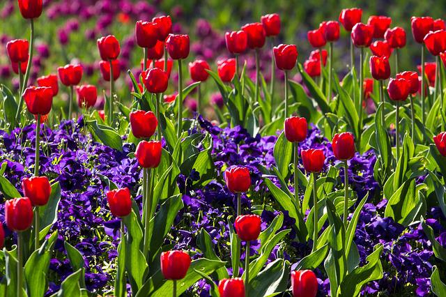 Tulips, Spring, Light, Colorful, Red, Macro