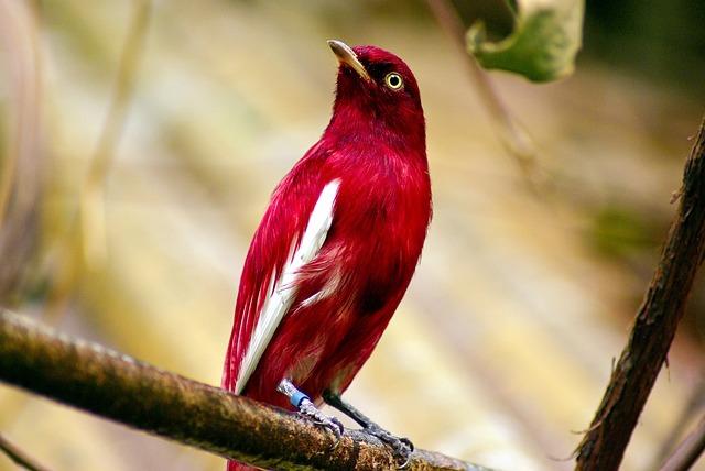 Pompadour Cotinga, Red, Pompadour, Cotinga, Bird