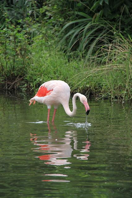 Red Crane, Birds, Pond, 覓 Food, Zoo