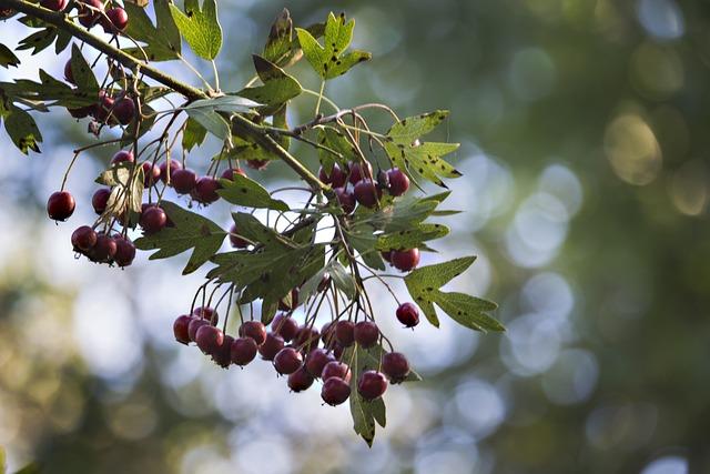 Crataegus, Autumn, Nature, Fruit, Red, Hawthorn Fruit