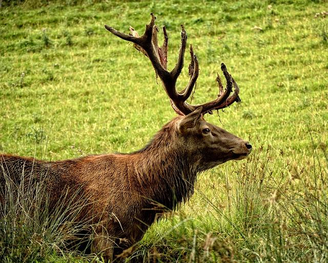 Hirsch, Red Deer, Cervus Elaphus, Antler