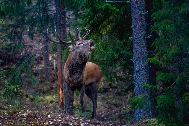 Flay, Red Deer, Norway, Forest