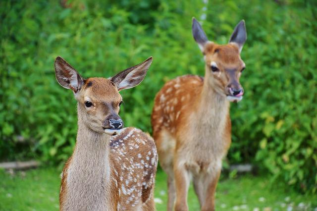 Roe Deer, Kitz, Wild, Forest, Red Deer, Young, Fawn