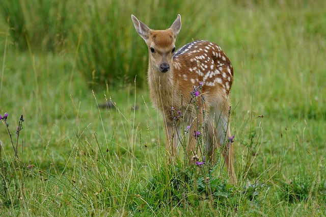 Kitz, Young Animal, Red Deer, Zoo