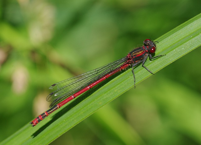 Insect, Dragonfly, Adonis Dragonfly, Red Dragonfly