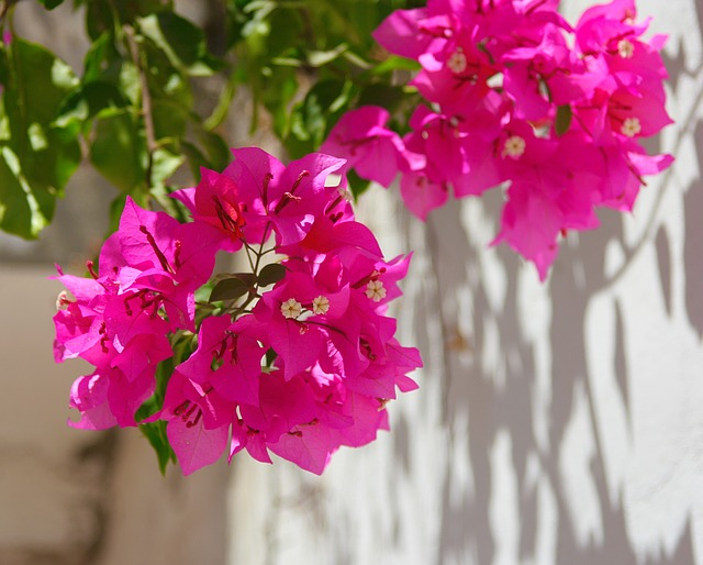 Egypt, Bougainvillea, Flowers, Red, Red Purple, White