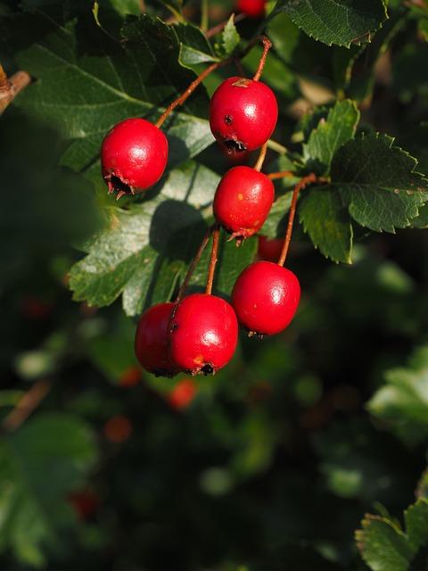 Berries, Fruits, Red, Eingriffeliger Hawthorn, Bush