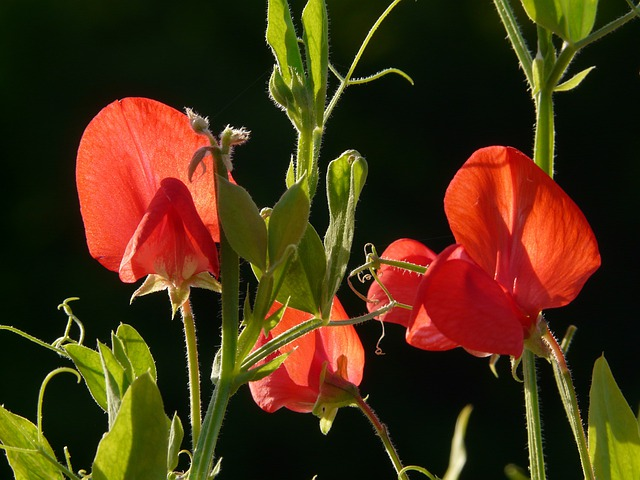 Vetch, Vicia, Fabaceae, Faboideae, Legume, Red, Flower