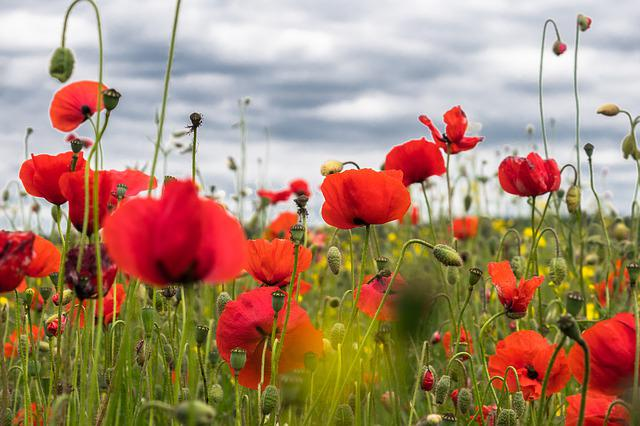 Poppy Flower, Field Of Poppies, Klatschmohn, Poppy, Red